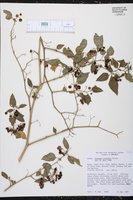 Solanum aloysiifolium image