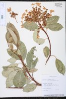 Hydrangea seemannii image