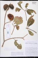 Stemmadenia tomentosa image