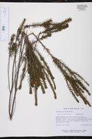 Ceratiola ericoides image