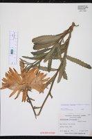 Leucanthemum x superbum image