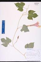 Ipomoea macrorhiza image