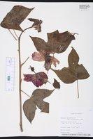 Image of Hibiscus uncinellus
