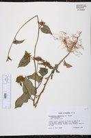 Jacquemontia tamnifolia image