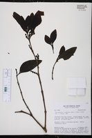 Image of Phoradendron racemosum
