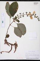 Image of Gloxinia racemosa