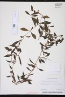 Aeschynanthus micranthus image