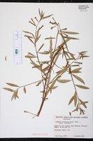 Ludwigia octovalvis subsp. octovalvis image