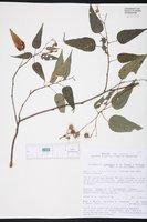 Image of Triumfetta gonophora