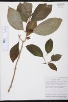 Image of Drymonia macrophylla