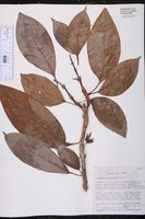 Image of Drymonia ecuadorensis