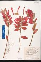 Image of Columnea aurantia
