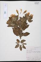Cantua quercifolia image
