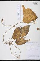 Image of Gurania eriantha