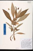 Image of Nautilocalyx peruvianus