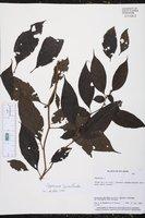 Capsicum lycianthoides image