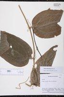 Smilax fluminensis image