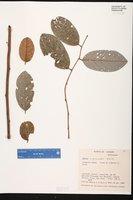 Image of Annona hystricoides