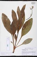 Andersonglossum virginianum image