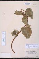 Image of Cnidoscolus pubescens