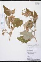 Solanum lanceolatum image