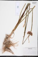 Allium validum image