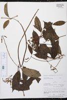 Prestonia quinquangularis image