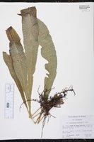 Campyloneurum phyllitidis image
