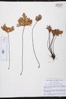 Cheilanthes goyazensis image