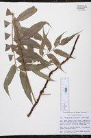Image of Lomagramma guianensis