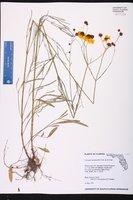 Coreopsis leavenworthii image