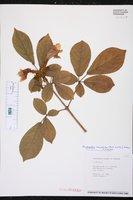 Handroanthus chrysotrichus image