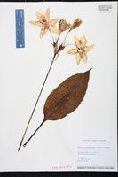 Eucharis grandiflora image