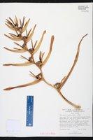 Image of Heliconia lingulata