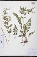 Cystopteris fragilis var. protrusa image