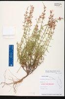 Dicerandra thinicola image