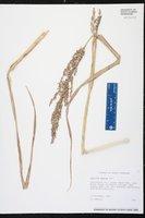 Panicum amarum image