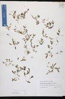 Halophila decipiens image