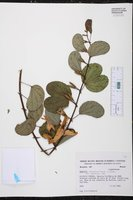 Bauhinia platypetala image