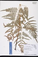 Pteridium aquilinum var. pseudocaudatum image