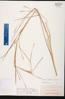 Coelorachis tuberculosa image