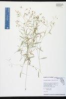 Campanula floridana image