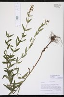 Stachys lythroides image
