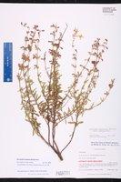 Dicerandra frutescens subsp. modesta image