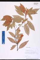 Persea borbonia var. humilis image