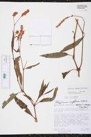 Image of Persicaria segetum