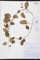 Solanum ionidium image