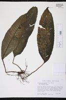 Image of Tectaria plantaginea