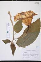 Brugmansia suaveolens image