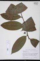Image of Guatteria caribaea